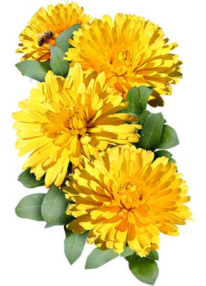 Pacific Beauty Yellow Calendula (Calendula officinalis)
