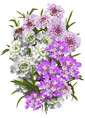 Candytuft Seeds, Annual Mixture (Iberis umbellata)