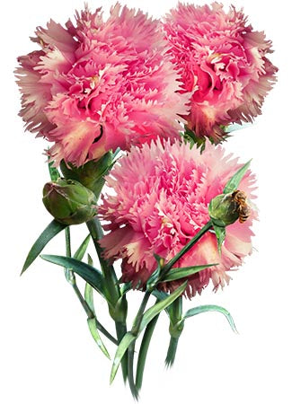 Grenadin Rose Carnation Seeds (Dianthus caryophyllus)