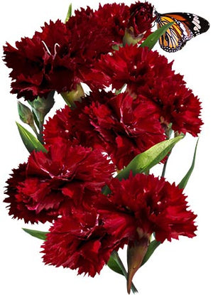 King of Blacks Carnation Seeds (Dianthus caryophyllus)