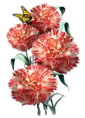 Orange Sherbet Carnation Seeds (Dianthus caryophyllus)