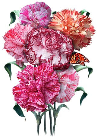 Carnation Seeds, Picotee Mixture (Dianthus caryophyllus)