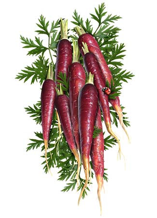 Cosmic Purple Carrot Seeds (Daucus carota)
