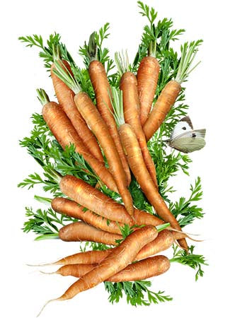 Little Finger Carrot Seeds (Daucus carota)