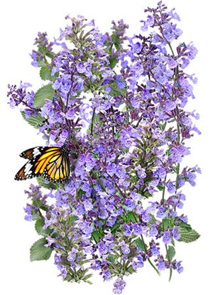 Catmint Herb Seeds (Nepeta mussinii)