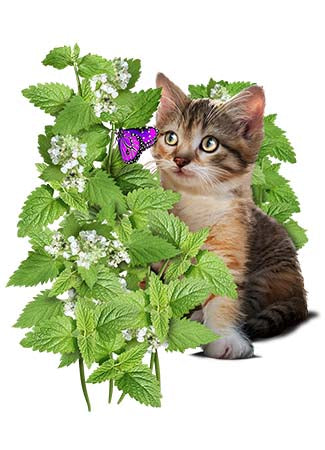 Catnip Herb Seeds (Nepeta cataria)