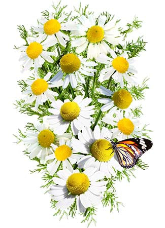 German Chamomile Herb Seeds (Matricaria recutita)