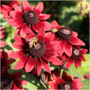 cherry brandy rudbeckia