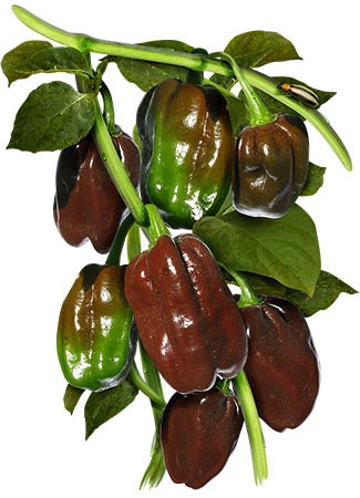 Chocolate Habanero Pepper Seeds (Capsicum Chinense)