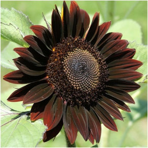 chocolate sunflowers
