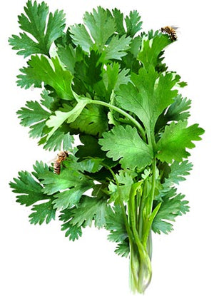 Cilantro Herb Seeds (Coriandrum sativum)