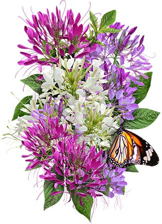 Cleome Seeds, Spider Mixture (Cleome hassleriana)