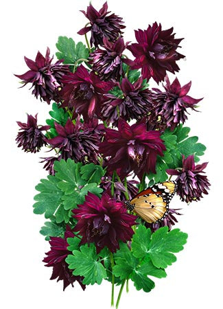 Black Barlow Columbine Seeds
