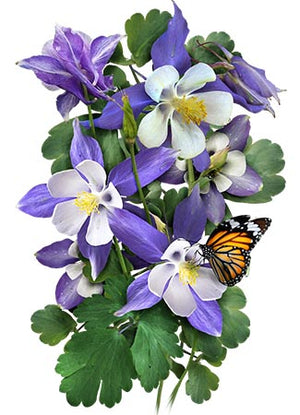 Blue Star Columbine Seeds (Aquilegia caerulea)