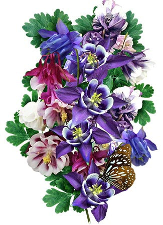 Dwarf Mixed Columbine Seeds (Aquilegia vulgaris)