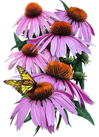 Purple Coneflower Seeds (Echinacea purpurea)