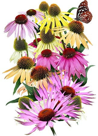 Rainbow Mixed Coneflower Seeds (Echinacea x hybrida)