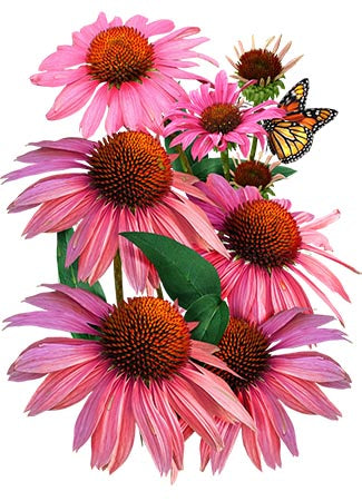 Ruby Star Coneflower Seeds (Echinacea purpurea)