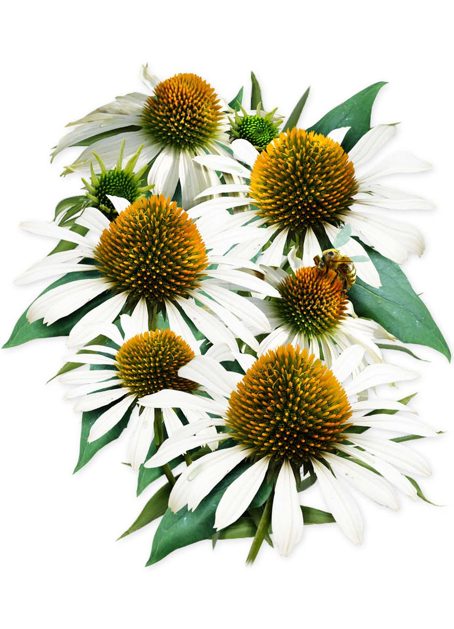 White Swan Coneflower Seeds