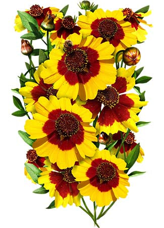Coreopsis Plains Seeds (Coreopsis tinctoria)