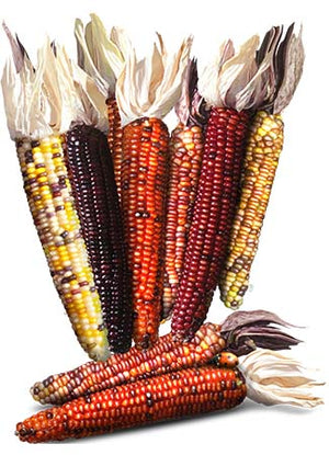 Indian Corn Seeds, Ornamental Mixture (Zea mays)