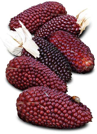Strawberry Corn Seeds, Popping Corn (Zea mays)