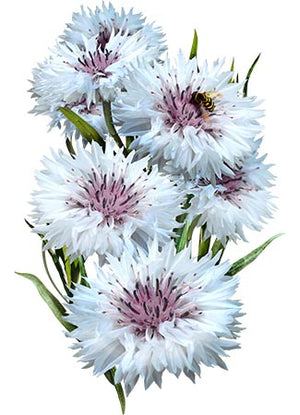 Tall White Cornflower Seeds (Centaurea cyanus)