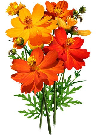 Bright Lights Cosmos Seeds (Cosmos sulphureus)