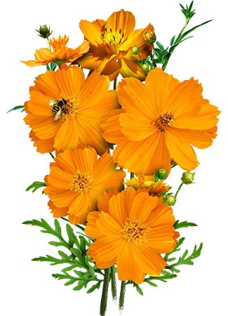 Burning Passion Cosmos Seeds (Cosmos sulphureus)