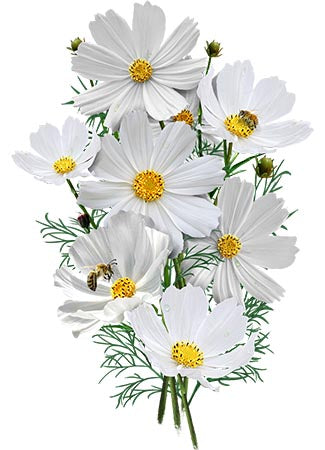 Purity Cosmos Seeds (Cosmos bipinnatus)