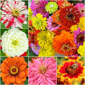 Crazy zinnia mixture