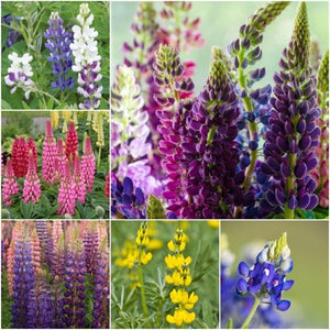 Loopy Mixture Lupine