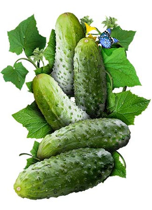 Boston Pickling Cucumber Seeds (Cucumis sativus)