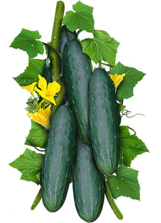Spacemaster 80 Cucumber Seeds (Cucumis sativus)