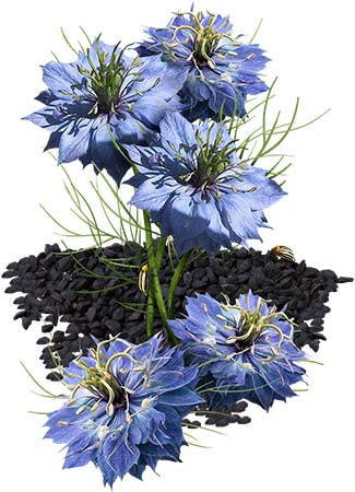 Black Cumin Herb Seeds (Nigella sativa)