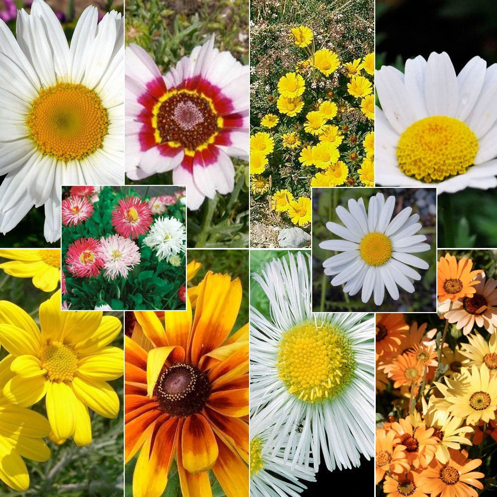 Crazy Daisy Seed Mixture (16 Species Included)