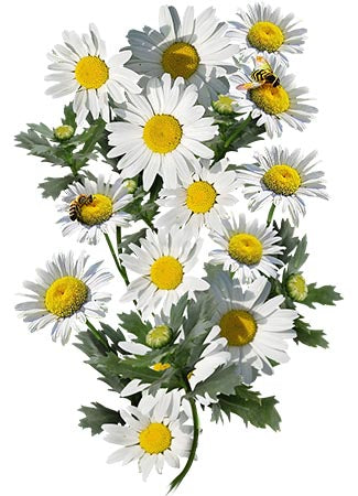 Creeping Daisy Seeds (Chrysanthemum paludosum)