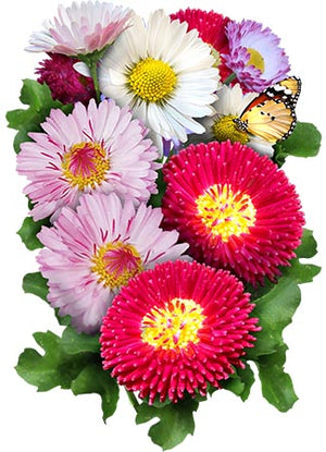 English Daisy Seed Mixture (Bellis perennis)