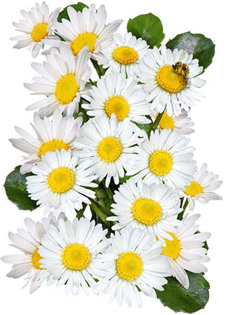 White English Daisy Seeds (Bellis perennis)