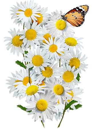 Ox-Eye Daisy Seeds (Chrysanthemum leucanthemum)