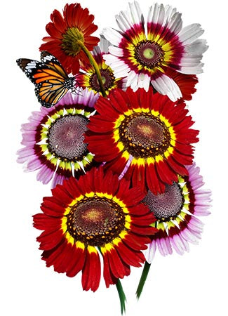 Painted Daisy Seeds (Chrysanthemum carinatum)