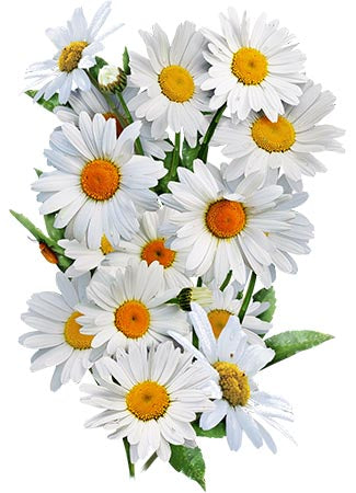 Shasta Daisy Seeds (Chrysanthemum maximum)