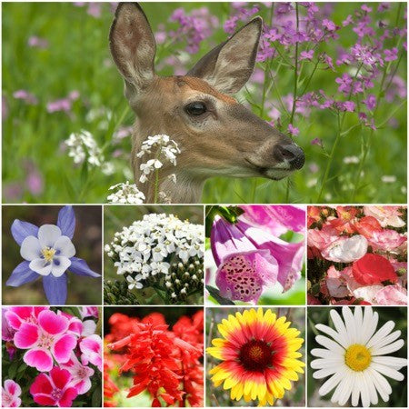 Deer Resistant Wildflower