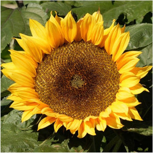 Dwarf Sunspot sunflower