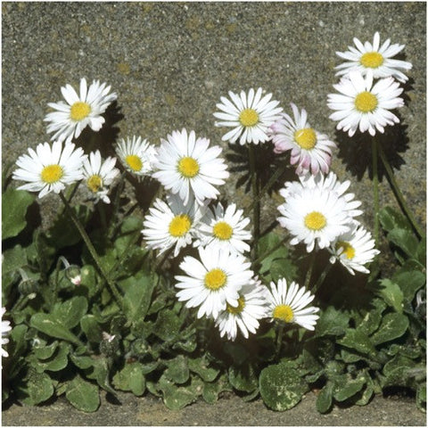 white english daisy