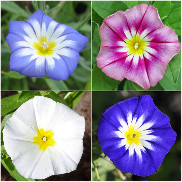 morning glory ensign mixture convolvulus tricolor. Black Bedroom Furniture Sets. Home Design Ideas