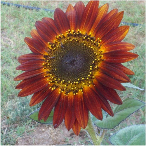 evening sun sunflower