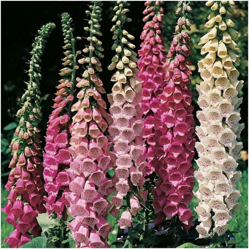 excelsior Mixture Foxglove