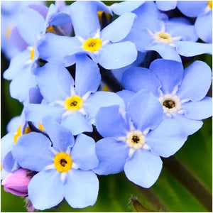 blue Forget Me Not
