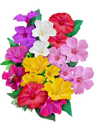Mixed Four O' Clock Seeds (Mirabilis jalapa)